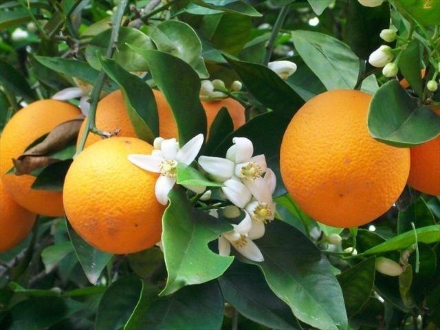 Vườn cam
